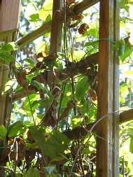 sichtschutz rankgitter bewachsene pflanzkasten mit