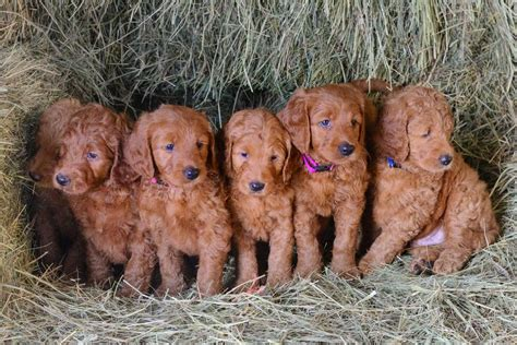 goldendoodle puppies for sale in mn goldendoodle puppies for sale golden doodle puppies tangled up in farms