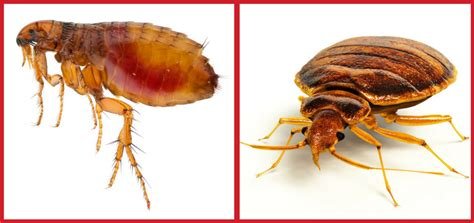 difference between fleas and bed bugs what are the differences between fleas bed bugs