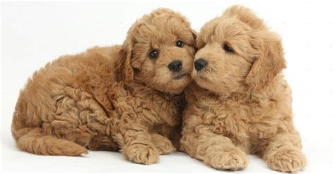 teddy puppy pet dogs cats fishes and small pets teddy breed images pets world