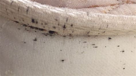 Sign Of Bed Bugs In Mattress by Signs Of Bed Bugs