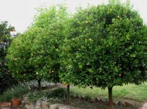 cumquats make great small evergreen trees plus fruit for