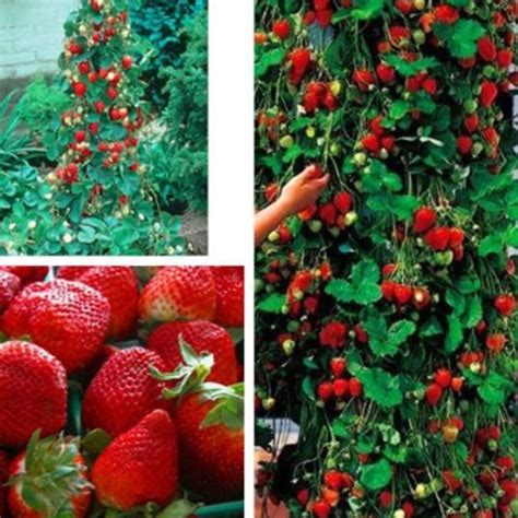 climbing strawberry plants 100pcs strawberry climbing strawberry fruit plant