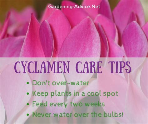 How To Make A Windowsill Cyclamen Plant Care How To Grow Colorful Cyclamen