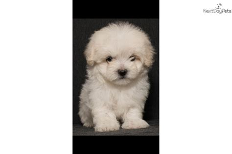 teacup puppies for sale san antonio teacup maltipoo puppies for sale in san antonio