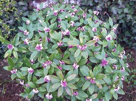 flowering shrub identification flowering shrub identification help flowers forums