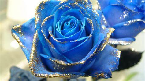 wallpaper flower rose blue blue rose hd wallpapers