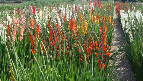 flowers suitable for new year cultivation of bulbous flowers in pothohar region
