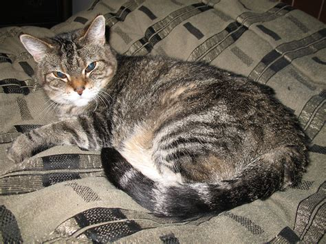 congestive failure when to put congestive failure in cats when to euthanize cats kittens