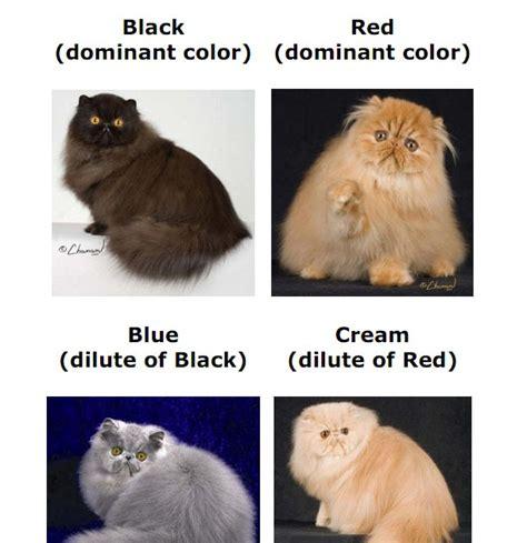Sho Kutu Kucing Malaysia kisahku mengenali warna anak kucing berdasarkan warna ibu