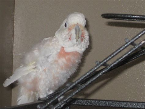 goffin cockatoo rescue in sw florida casper goffins cockatoo available for adoption florida parrot rescue florida parrot rescue