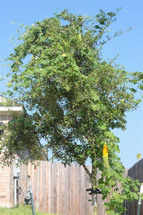 tree pic bittermelon tree