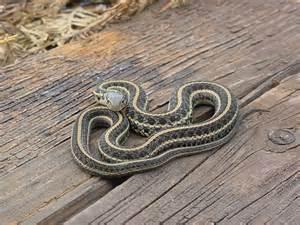 Garter Snake Juvenile Easternplainsgartersnake