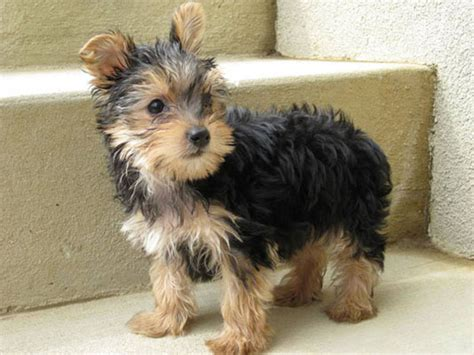how do yorkies live in years carthageagriculture terrier 4