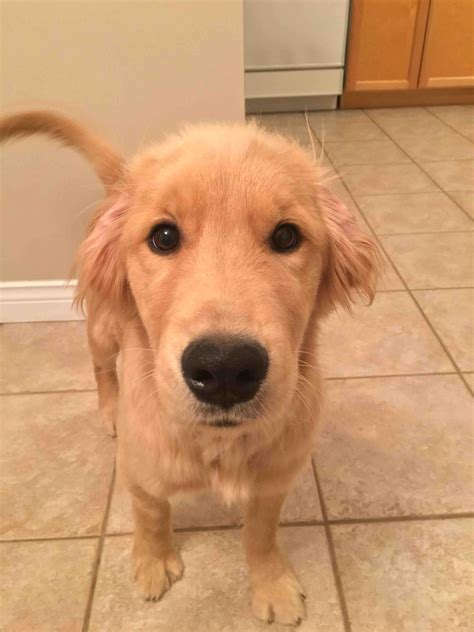 4 month puppy has diarrhea golden retriever diarrhea photo