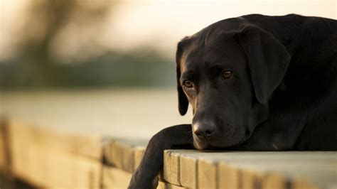 wallpaper labrador dog  animals
