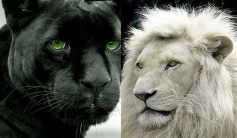 imagenes panteras blancas 10 curiosidades sobre las panteras negras youtube