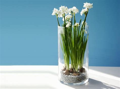 Paperwhite Vase by 17 Best Images About Bulbs On Shape Apple