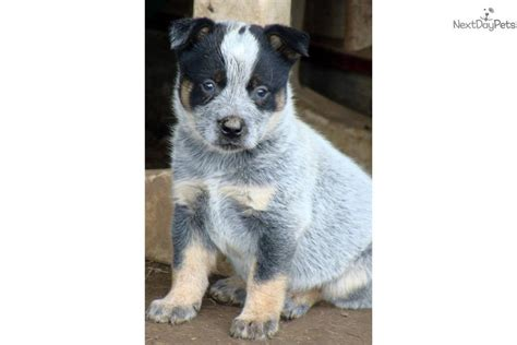 heeler puppies for sale near me chock australian cattle blue heeler puppy for sale near joplin missouri