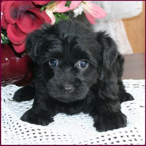 yorkie and poodle mix for sale yorkipoo yorkie poodle yorkiepoo puppies for sale iowa