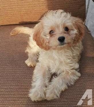 cavapoo puppies indiana adorable cavapoo puppies akc parents chion lines for sale in murrieta california