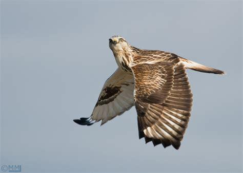 front side back juveniles flying flying 2 close ups action action 2 rough legged hawk