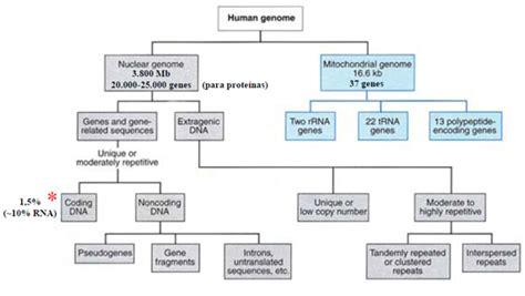 humanos con 3 cadenas de adn 191 qu 233 contiene el genoma humano la gu 237 a de biolog 237 a