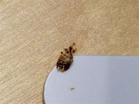 bed bug sheddings bug id help looks like carpet beetle shed skin 171 got