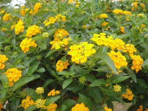 lantana very hearty plant outdoor living gardening pinterest
