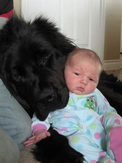 newfoundland puppies maine 1000 ideas about newfoundland dogs on big breeds big dogs and