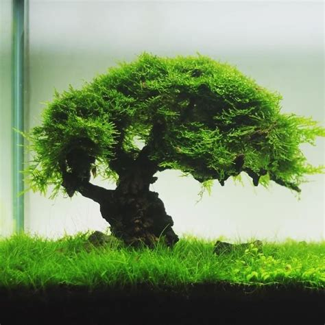 bonsai aquascape akvaristan akvaryum on bonsai aquascaping and aquariums