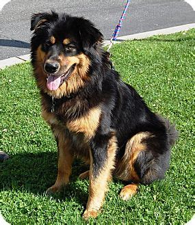 los angeles golden retriever lobo adopted west los angeles ca golden retriever rottweiler mix