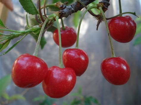 fruit tree nursery michigan sweet cherry