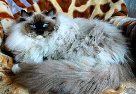 BREED RAGDOLL