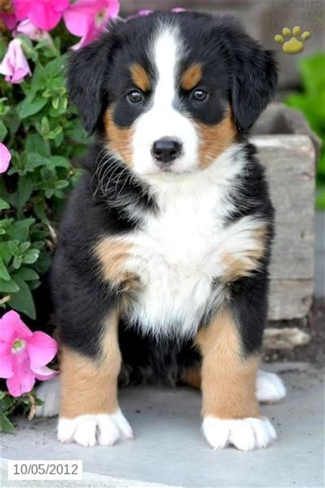 bernese mountain dogs for sale 25 best ideas about puppies for sale on pet dogs for sale sale and
