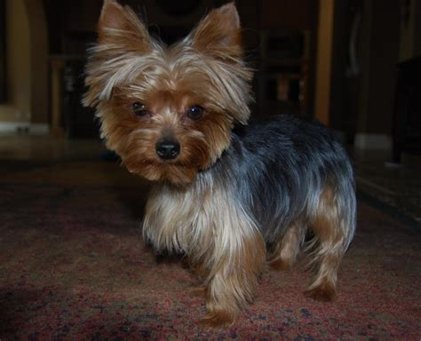 images of yorkshire layered hairstyles yorkshire terrier haircuts get domain pictures