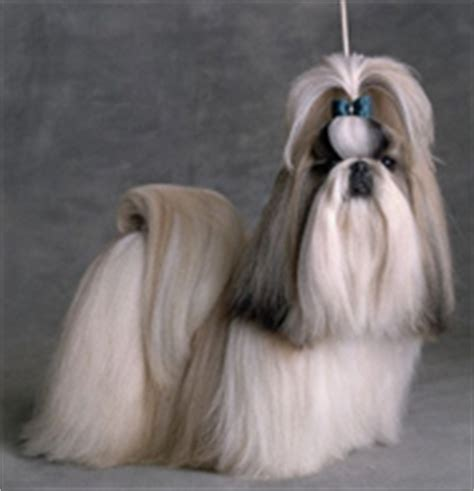 shih tzu pekingese expectancy pets hobbies dogs groups of dogs chihuahua pug pekingese poodle