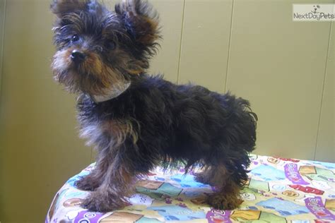yorkie puppies new jersey terrier yorkie puppy for sale near jersey new jersey cd6933c1 f0f1