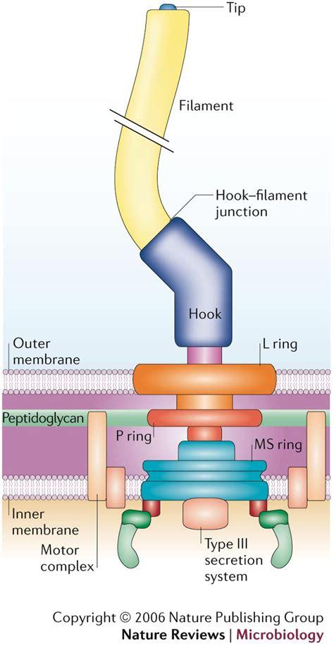 diagram of flagella images