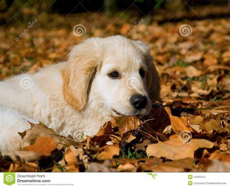 golden retriever hair fall golden retriever puppy lying on autumn leaves stock photo image of hair