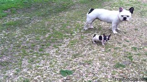grown teacup miniature teacup bulldog breeds picture