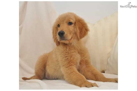 baby golden retriever for sale golden retriever puppy for sale near springfield missouri c7b4873a 6261