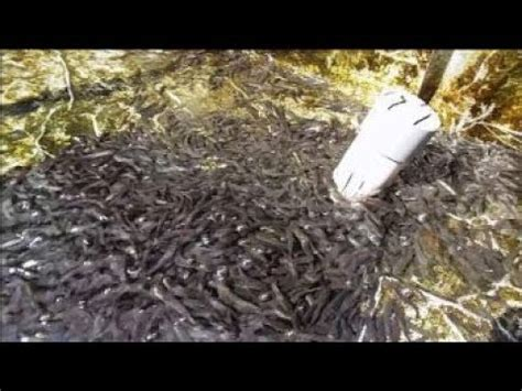 Pakan Larva Ikan Gabus pakan alternatif anak ikan gabus pengganti cacing