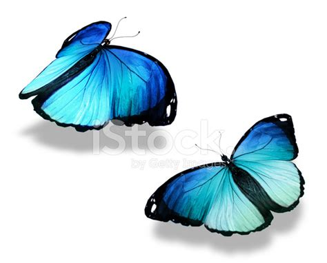 Gamis Buterfly Premium White Pasmina two blue butterflies isolated on white background concept of m stock photos freeimages