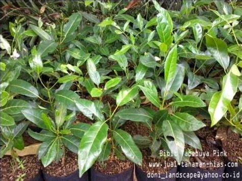 Bibit Bunga Tabebuia bibit tabebuia ungu jual pohon tabebuya tabebuia