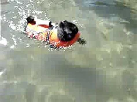 pug jacket swimming black pug swimming in a jacket