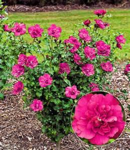 hibiskus im garten hibiskus magenta chiffon 174 1a pflanzen kaufen baldur garten