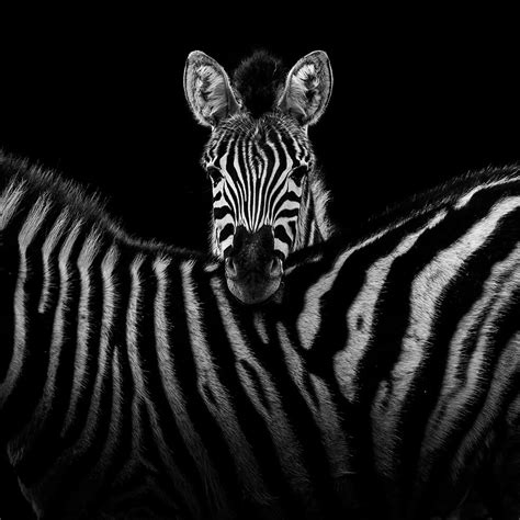 black and white animals these black and white animals by lukas holas are just