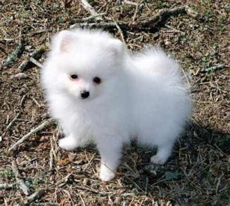 cutest breeds 1000 ideas about small breeds on cutest breeds miniature