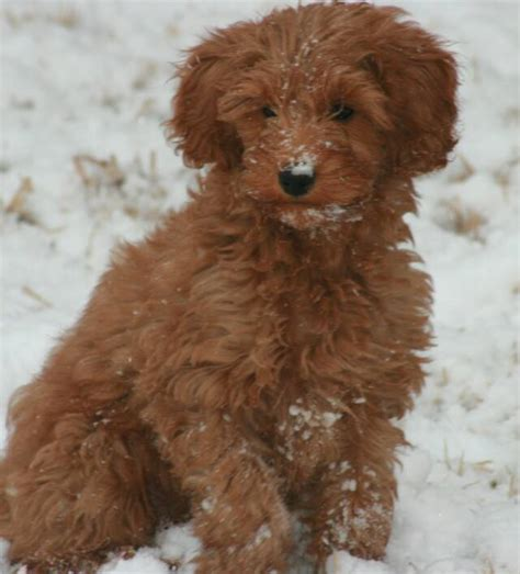 buy goldendoodle puppies stroodle s goldendoodles oklahoma arkansas kansas and missouri